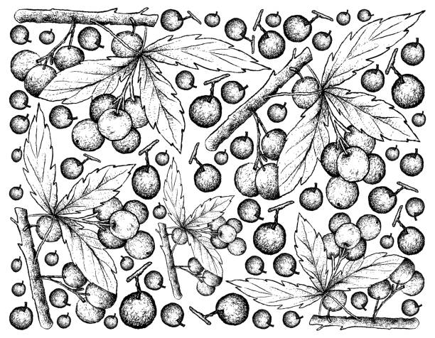 Hand Drawn Background of Allophylus Edulis Fruits Berry Fruits, Illustration Wallpaper Background of Hand Drawn Sketch Allophylus Edulis or Chal-Chal Fruits Hanging on The Bunch. fruta stock illustrations