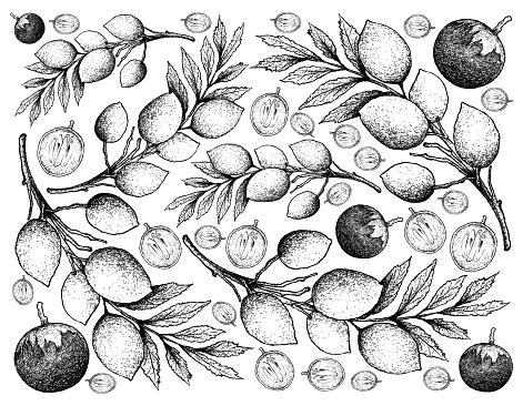 Hand Drawn Background of Star Apple and Elaeocarpus Hygrophilus Fruits
