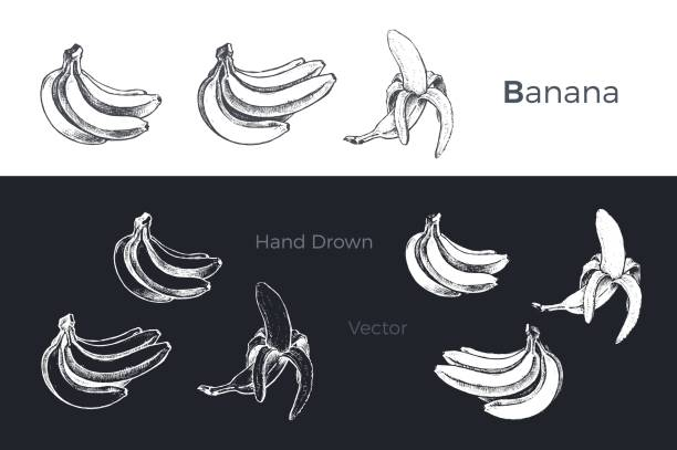 Hand drawn banana icons set isolated on white and black chalk background. Sketch of fruits for packaging and menu design. Vintage vector illustration. Hand drawn bananas. Fruits sketch vector set banana drawings stock illustrations