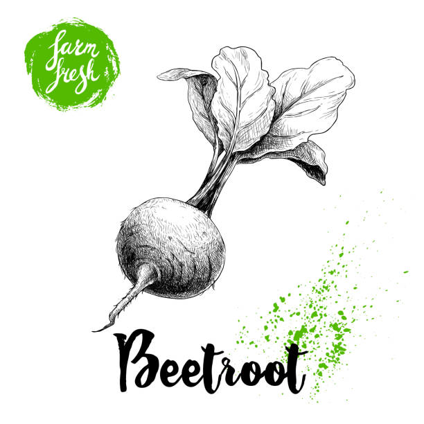 Hand drawn beet root with leafs. Sketch vintage vector illustration isolated on white background. Farm fresh vegetable. vector art illustration