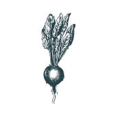Hand drawn beet. Vector illustration of vegetarian food.Sketch of farm market product.