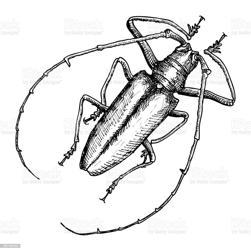 Ilustración de Escarabajo Dibujado De La Mano Blanco Y Negro Insecto ...