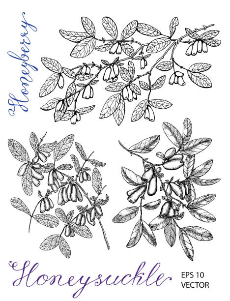 Hand drawn black and white set with honeysuckle berries on branches and lettering Vintage nature concept, hand drawn vector illustration with engraved design elements honeysuckle stock illustrations
