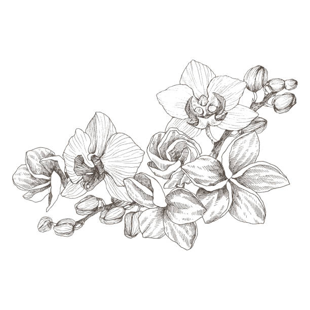 Hand drawn black outline bouquet with orchid and plumeria on a white background isolated. Highly detailed vector illustration. Beautiful exotic flower. Cymbidium for your logo, composition, design. Hand drawn realistic. Vintage orchid flowers pen and ink illustration isolated orchid stock illustrations