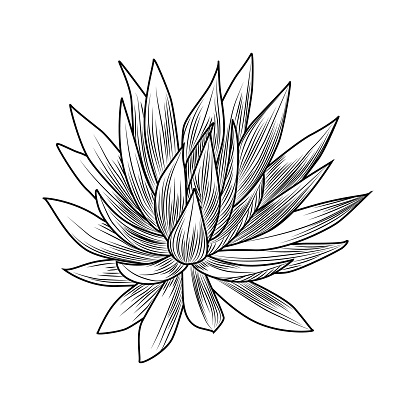 Hand drawn blue agave isolated on white background. Succulent plants engraving vintage style.