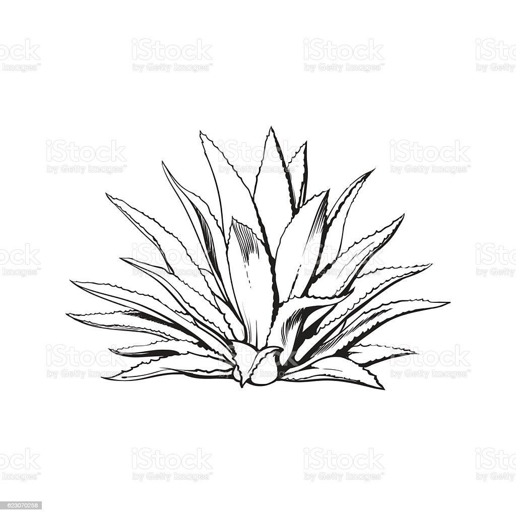 Hand drawn blue agave, main tequila ingredient - ilustración de arte vectorial