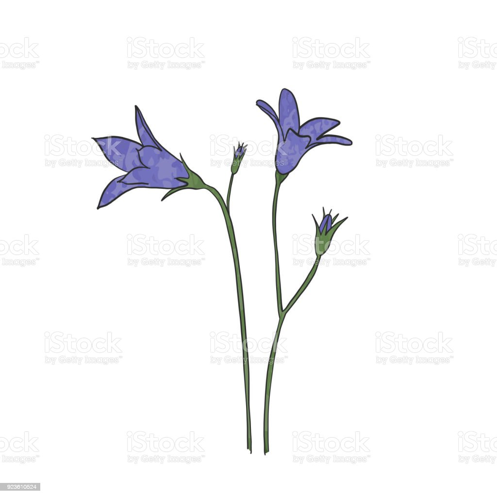 Hand drawn bluebell flower vector art illustration