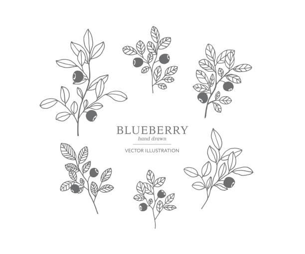 illustrazioni stock, clip art, cartoni animati e icone di tendenza di hand drawn blueberry set. - mirtilli
