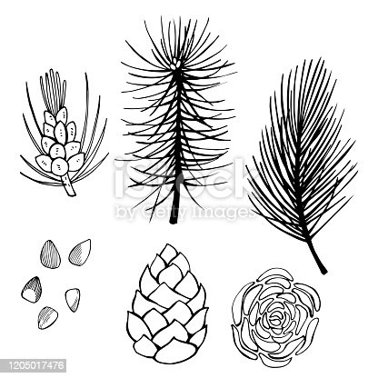 istock Hand drawn branch and pine cone. 1205017476