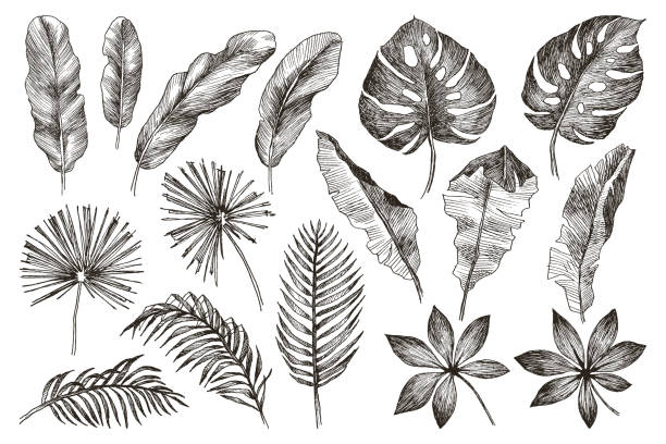 Hand drawn branches and leaves of tropical plants. Black floral set isolated on white background. High detailed botanical illustration Set Leaf. Exotics. Vintage vector botanical illustration. Black and white banana drawings stock illustrations