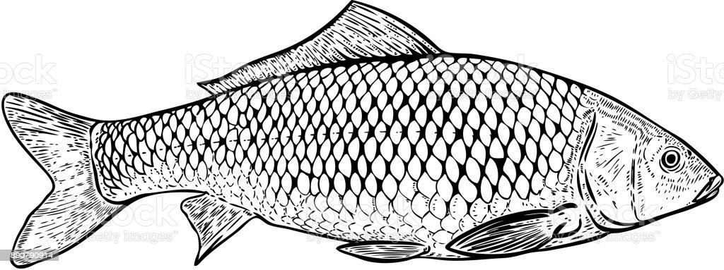 Handgezeichnete Karpfen Fisch Abbildung. Design-Elemente für Poster, Banner, Menü, Menü. Vektor-illustration – Vektorgrafik
