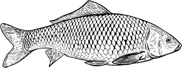 illustrazioni stock, clip art, cartoni animati e icone di tendenza di hand drawn carp fish illustration. design elements for poster, menu, banner, menu. vector illustration - pesci