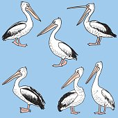 hand drawn cartoon pelicans