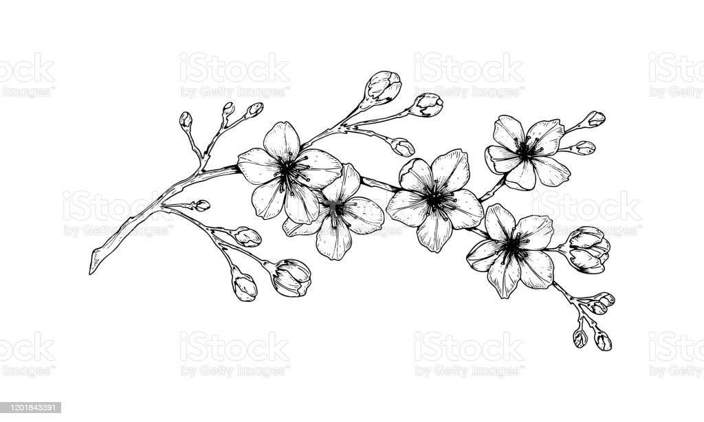 Hand Drawn Cherry Blossom Branch Vector Illustration In Sketch Style Vintage Spring Flowers Stock Illustration Download Image Now Istock