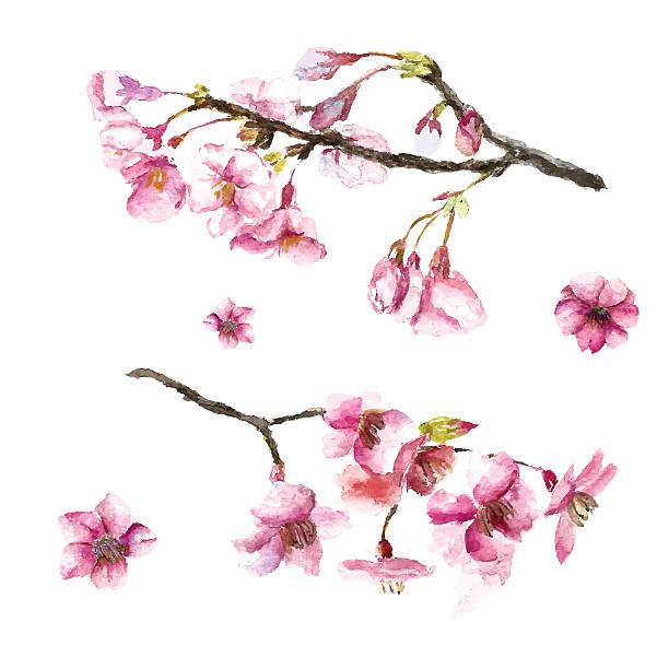 ilustrações de stock, clip art, desenhos animados e ícones de mão desenhada flores de cereja. - cherry blossoms
