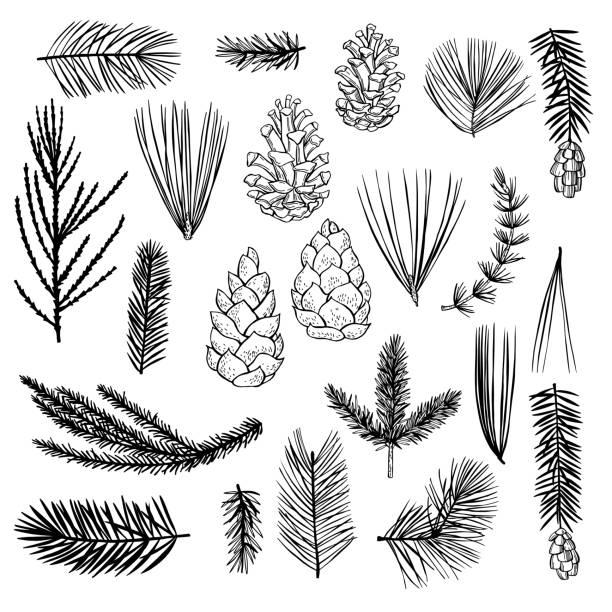 stockillustraties, clipart, cartoons en iconen met hand getrokken de installaties van kerstmis reeks. de schetsillustratie van de vector. - pinaceae