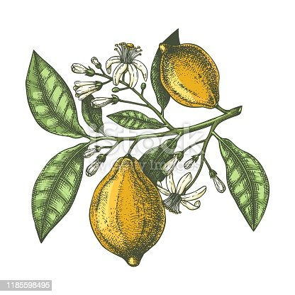 Vector sketch of highly detailed lemons tree with leaves, fruits and flowers sketches. Watercolor style citrus plants illustration. Perfect for packing, greeting cards, invitations, prints etc