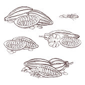 Hand drawn cocoa beans.  Vector sketch illustration