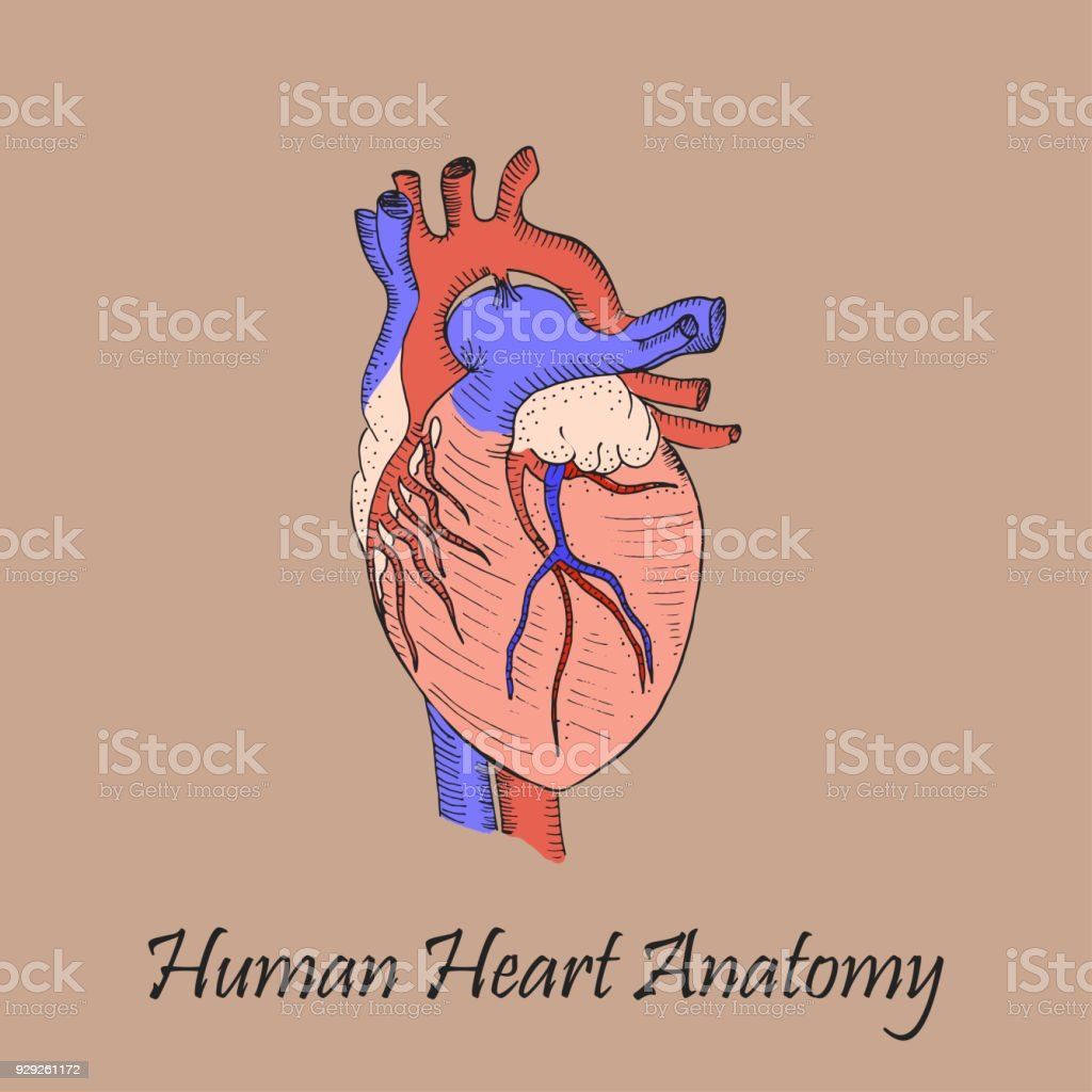 Hand drawn coloured human heart stock vector art more images of hand drawn coloured human heart royalty free hand drawn coloured human heart stock vector art ccuart Gallery