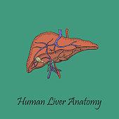 Hand Drawn Coloured Human Liver