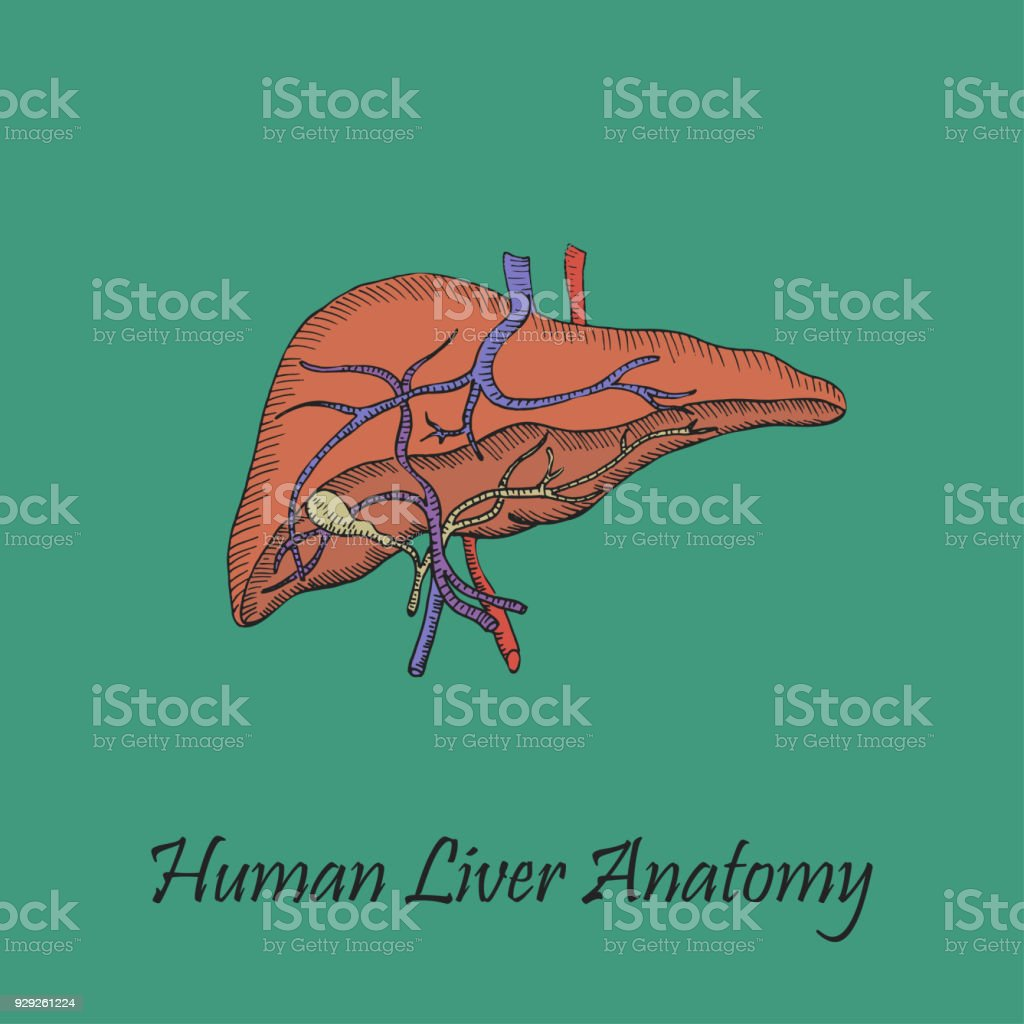 Hand Drawn Coloured Human Liver vector art illustration