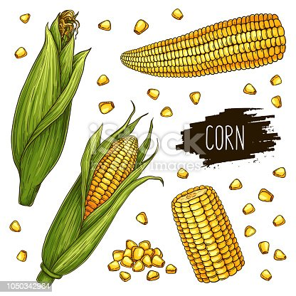 Hand drawn corn set. Isolated ripe corn cobs and grain with label. Vegetarian food design for shop, market, book, menu, poster, banner. Vector sketch illustration