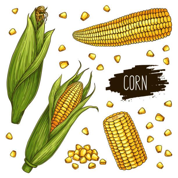 hand gezeichnet maiskolben und korn-satz - mais stock-grafiken, -clipart, -cartoons und -symbole