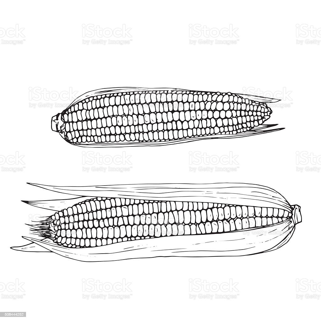 hand drawn corn cobs vector art illustration