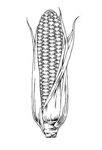 Hand Drawn Corn