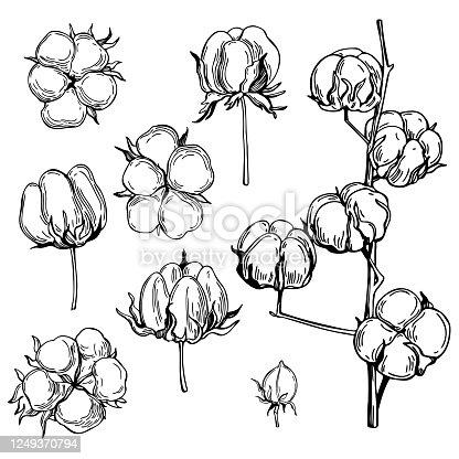 Hand drawn cotton plant. Vector sketch illustration