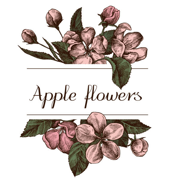 Hand drawn design with apple flowers Highly detailed sketch Hand drawn design with apple flowers Highly detailed sketch vector stock file apple blossom stock illustrations