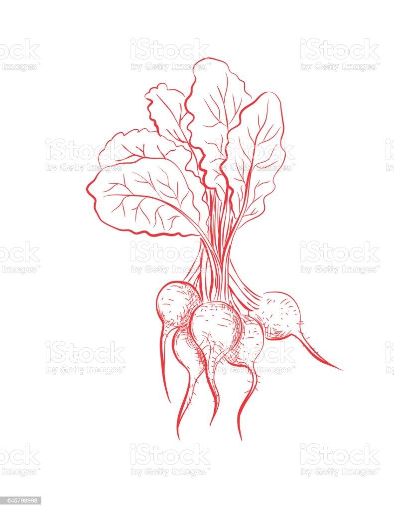 Hand Drawn Detailed Vegetables - Beets vector art illustration
