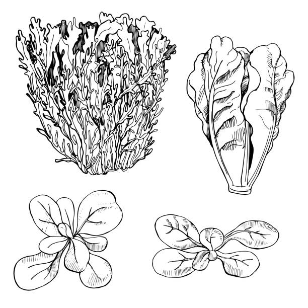 hand gezeichnet verschiedene arten von salat. frisee, romaine. - farbsättigung stock-grafiken, -clipart, -cartoons und -symbole