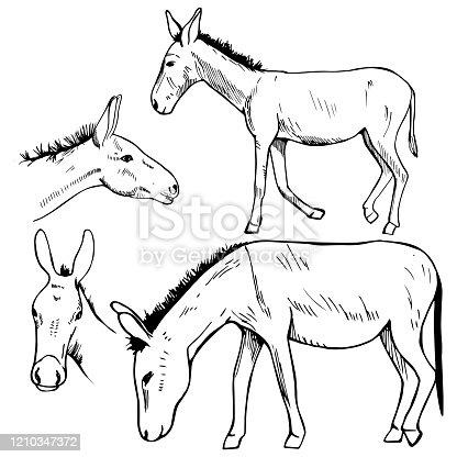 Hand drawn donkey. Vector sketch  illustration.