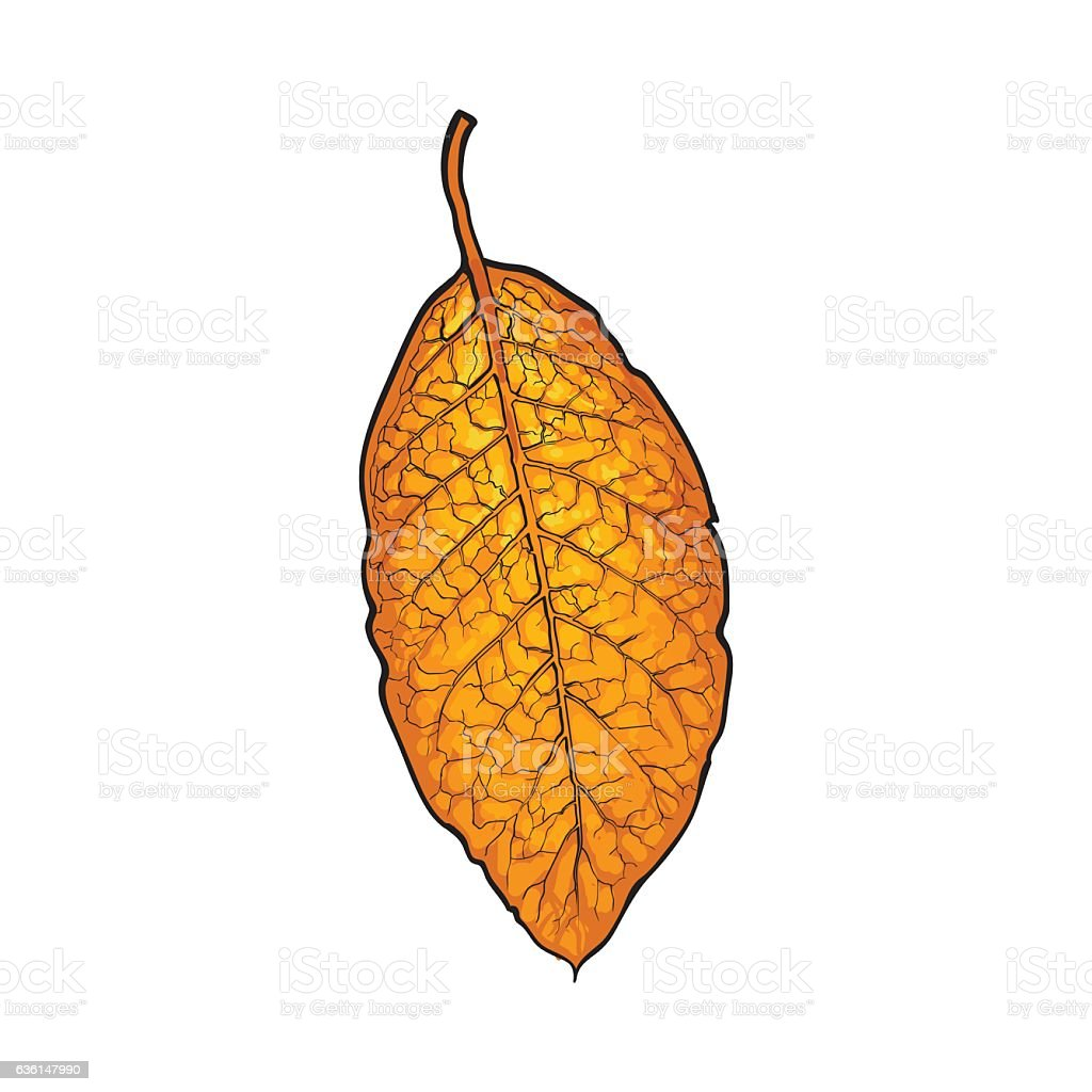Hand drawn dry tobacco leaf, vector illustration on white background vector art illustration