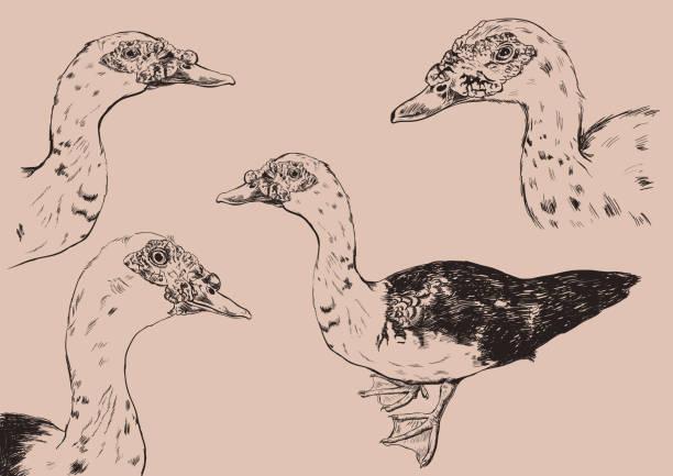 hand drawn duck vector set on beige round. hand drawn duck vector set on beige background american pekin duck stock illustrations