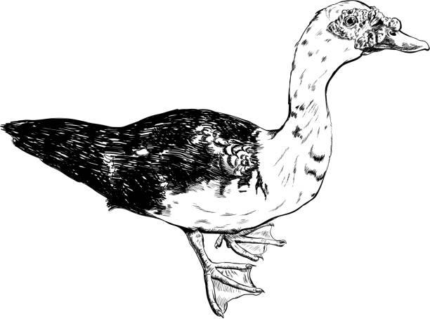 hand drawn duck vector set on white background. hand drawn duck vector set on white background american pekin duck stock illustrations