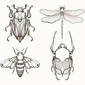 Hand drawn engraving Sketch of Scarab Beetle, May bug,
