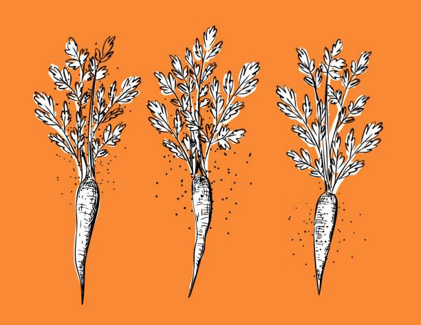 illustrazioni stock, clip art, cartoni animati e icone di tendenza di hand drawn engraving styel food: carrot - organic food