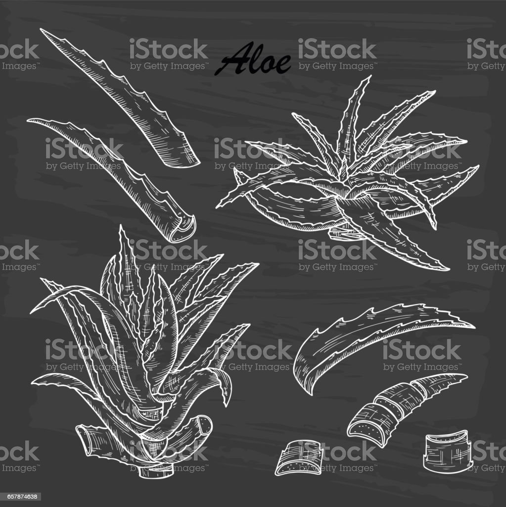 Hand drawn engraving style Aloe Vera plant set. Alternative medicine, treatment and body care with aloe vera ingredients. Vector illustration vector art illustration
