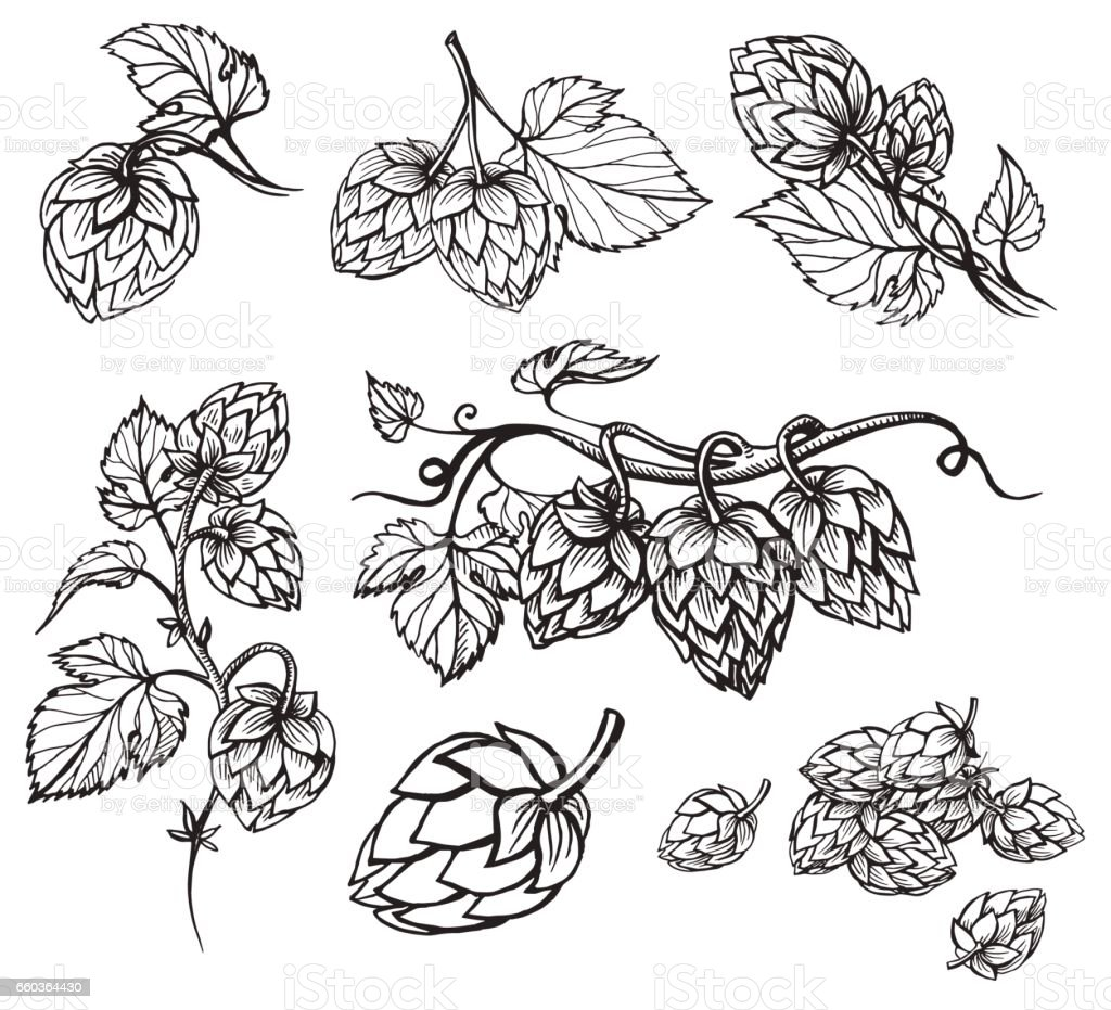 Hand drawn engraving style Hops set. vector art illustration