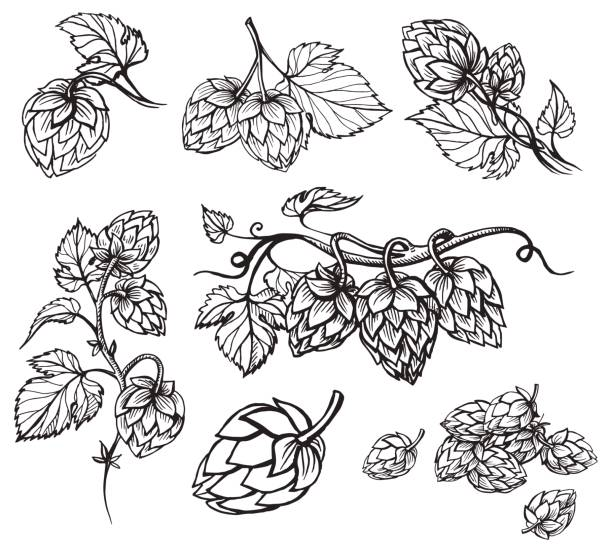 Hand drawn engraving style Hops set. vector art illustration