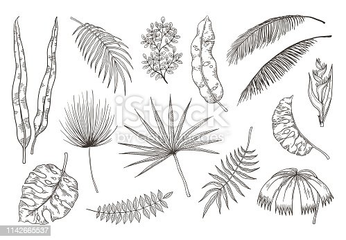Hand drawn exotic leaves. Tropical plants, nature floral drawing, monstera and banana palm leaves. Vector tropical set illustration coconut palm plant sketch leaves design