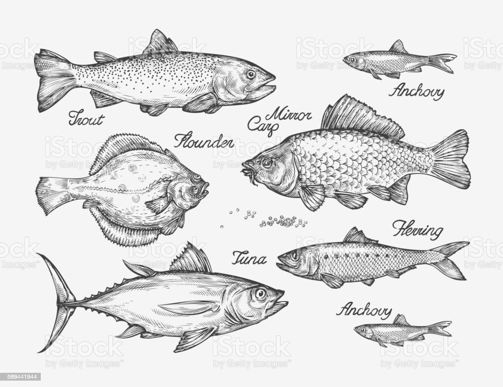 Hand Drawn Fish Sketch Trout Carp Tuna Herring Flounder Anchovy ...