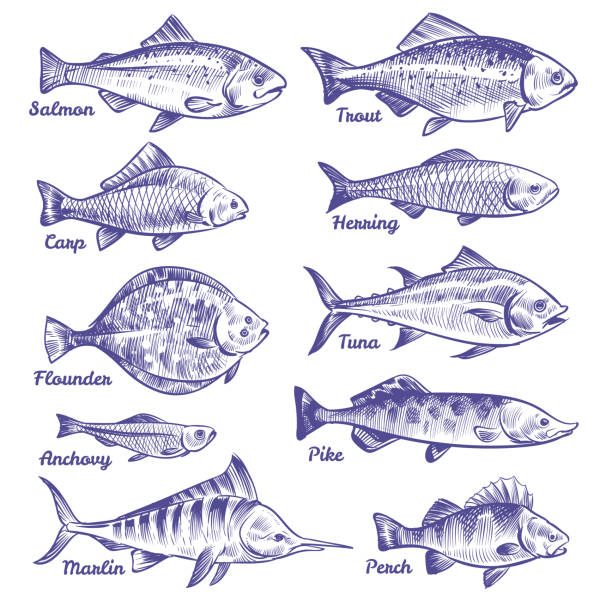 Hand drawn fishes. Ocean sea river fishes sketch fishing seafood herring tuna salmon anchovy trout perch pike Hand drawn fishes. Ocean sea river fishes sketch fishing seafood herring tuna salmon anchovy trout perch pike, vector collection pike fish stock illustrations