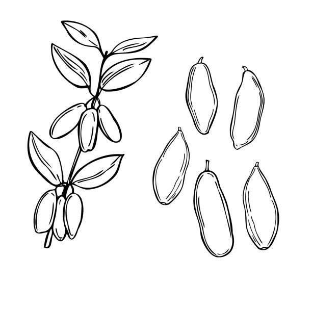 Hand drawn fly honeysuckle. Vector illustration Hand drawn berry. Fly honeysuckle on white background. Vector sketch illustration honeysuckle stock illustrations