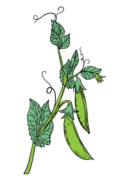 Hand Drawn Fresh Peas vector art illustration