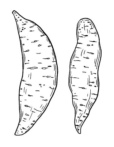 Hand Drawn Fresh Sweet Potato