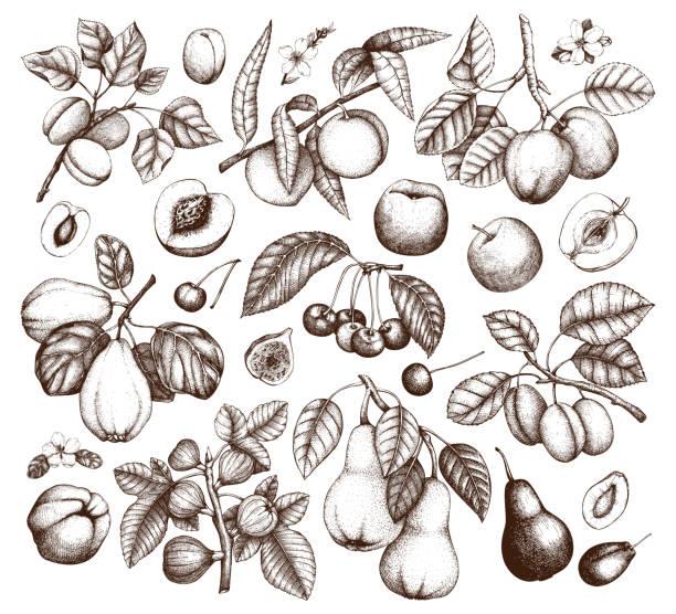 sammlung von handgezeichneten früchten - peach stock-grafiken, -clipart, -cartoons und -symbole
