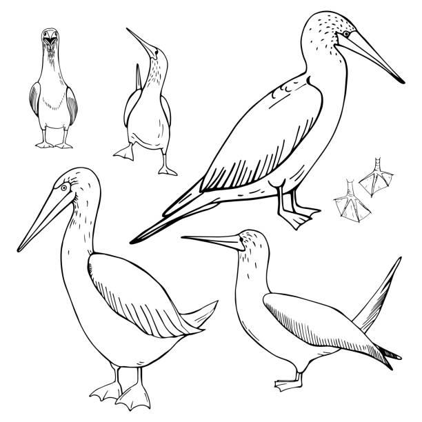 stockillustraties, clipart, cartoons en iconen met hand getekend gannet. vectorillustratie - northern gannet